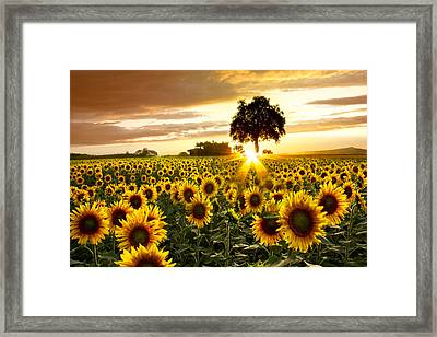 Fields Of Gold Framed Print by Debra and Dave Vanderlaan