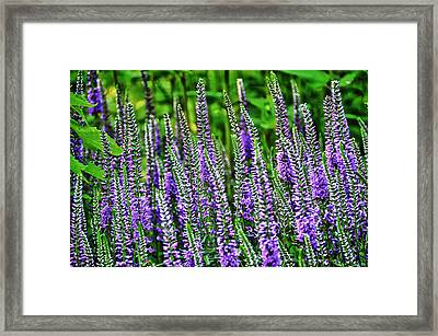 Fields Of Lavender Framed Print by Pat Cook
