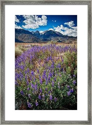 Fields Of Lupine Framed Print
