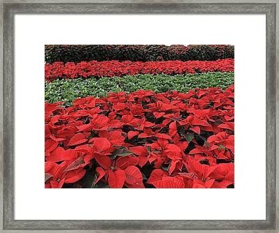 Fields Of Poinsettias Framed Print