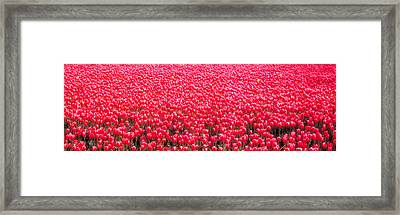 Fields Of Tulips Alkmaar Vicinity Framed Print by Panoramic Images