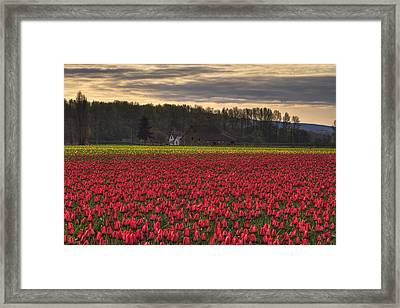 Fields Of Tulips Framed Print by Mark Kiver