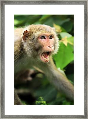 Monkey Of Kam Sham Country Park Framed Print by Katrina Lau