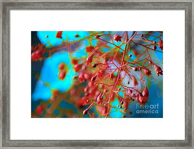 Fiery Red Clusters - Illawarra Flame Tree Framed Print