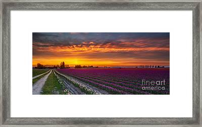 Fiery Skies Above Broad Tulips Framed Print by Mike Reid