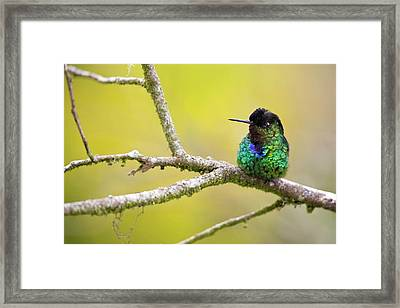 Fiery-throated Hummingbird Framed Print by Nicolas Reusens
