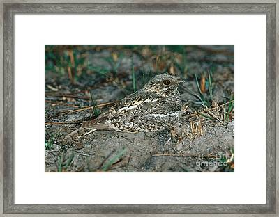 Fierynecked Nightjar Framed Print by Gregory G. Dimijian, M.D.