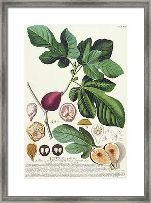 Fig Engraved By Johann Jakob Haid  Framed Print by German School