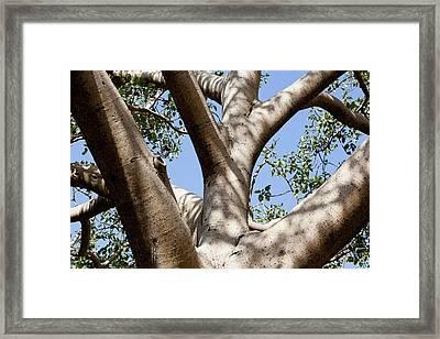 Fig Tree Near The Escarpment Framed Print by Martin Zwick