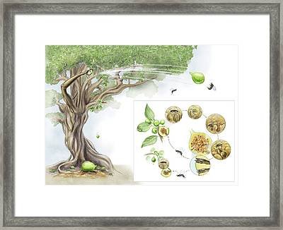 Fig Tree-wasp Life Cycle Framed Print by Nicolle R. Fuller