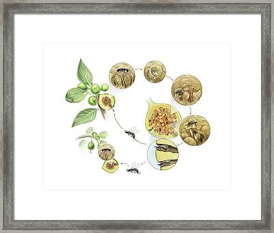 Fig Wasp Life Cycle Framed Print