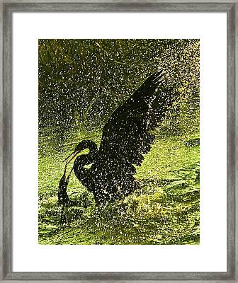 Fighting Anhingas Framed Print