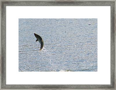 Fighting Chinook Salmon Framed Print by Mike  Dawson