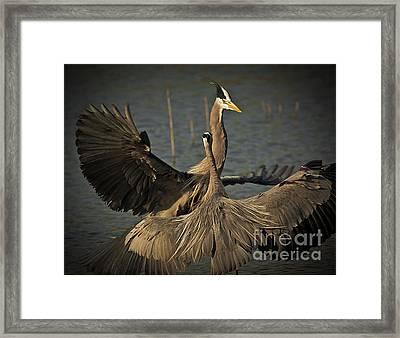 Fighting Great Blue Herons Framed Print by Robert Frederick