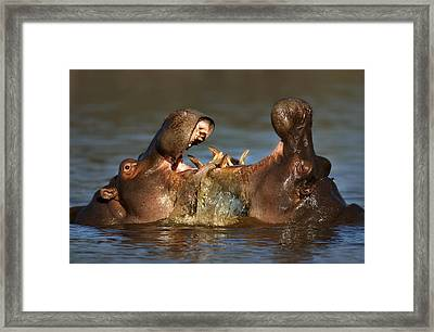 Fighting Hippo's Framed Print by Johan Swanepoel