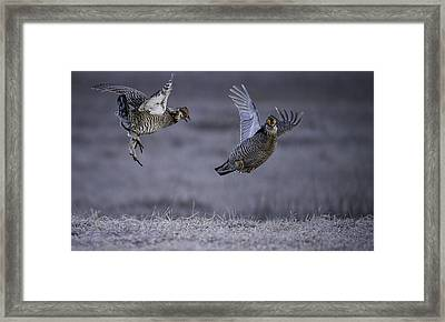 Fighting Prairie Chickens Framed Print