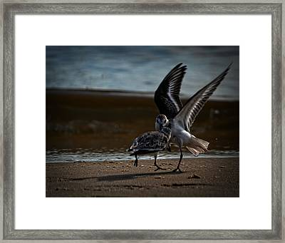 Fighting Sandpipers Framed Print