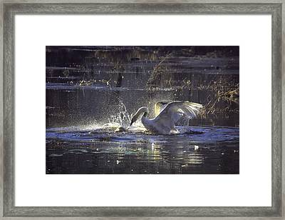 Fighting Swans Boxley Mill Pond Framed Print by Michael Dougherty
