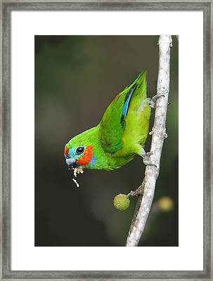 Figparrot Eating Figs Framed Print