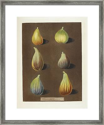 Figs Framed Print by British Library