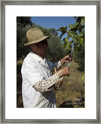 Fig's Harvest In Loppiano Framed Print
