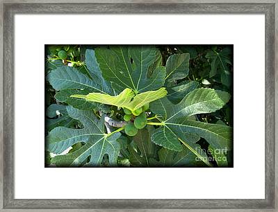 Figtree Framed Print by Susanne Baumann