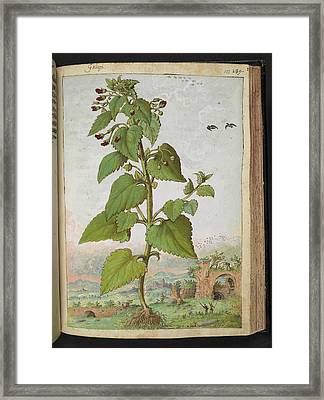 Figwort (scrophularia Sp.) Framed Print by British Library