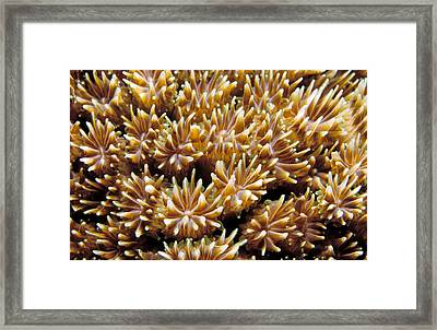 Fiji Soft Coral Framed Print by Anonymous