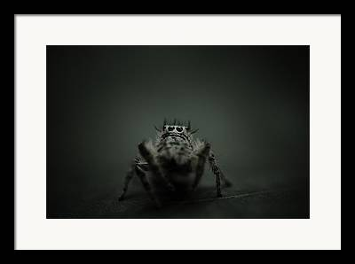 Jumping Spiders Framed Prints