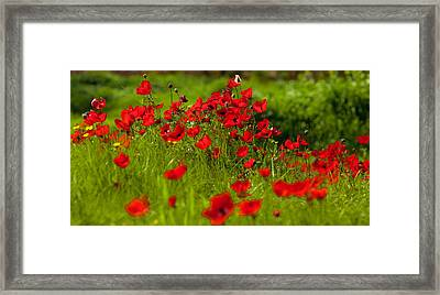 Framed Print featuring the photograph Filed Of Anemones by Uri Baruch