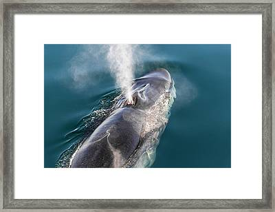 Fin Whale Blowing Framed Print by Christopher Swann