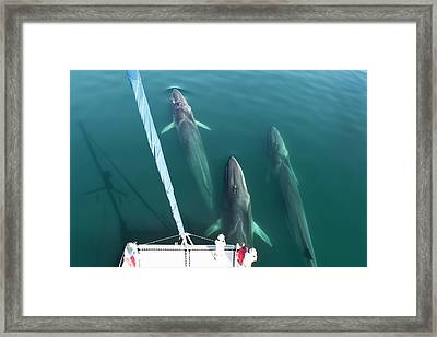 Fin Whales Bowriding Framed Print by Christopher Swann