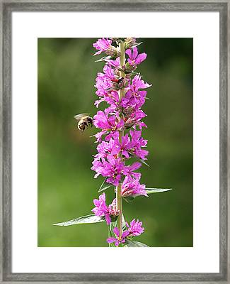 Final Approach - Bee On Purple Loosestrife Framed Print