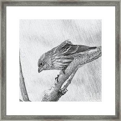 Finch Digital Sketch Framed Print