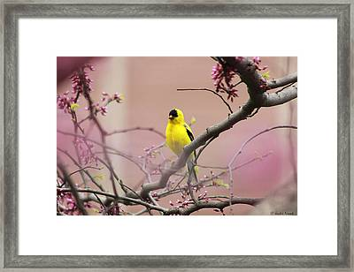 Finch In A Red Bud Framed Print by Jackie Novak