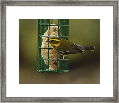 Finch On A Suet Framed Print by Ron Roberts