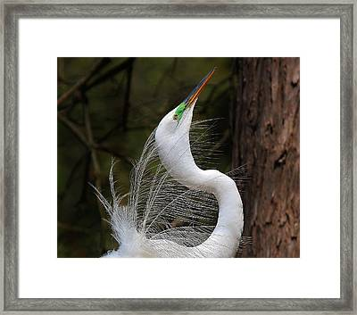 Fine Feathers Framed Print by Paulette Thomas