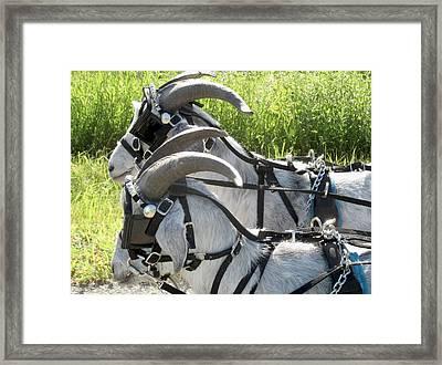 Cashmere Harness Goats I Framed Print