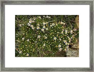 Fine-leaved Felicia (felicia Filifolia) Framed Print by Bob Gibbons