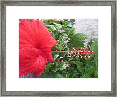 Fire And Ice Hibiscus Framed Print
