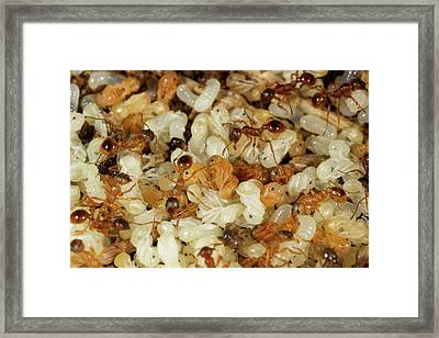 Fire Ants With Pupae Framed Print by Sinclair Stammers