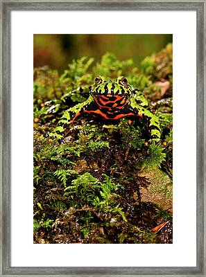 Fire Belly Toad Bombina Orientalis Framed Print by David Northcott