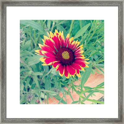 Fire Daisy Framed Print by Thomasina Durkay