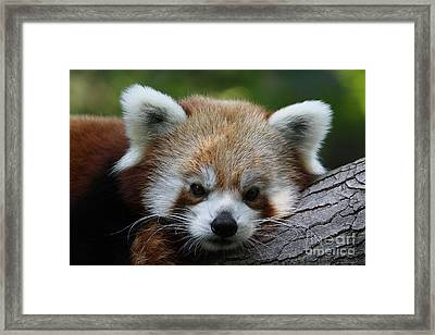Framed Print featuring the photograph Fire Fox by Judy Whitton