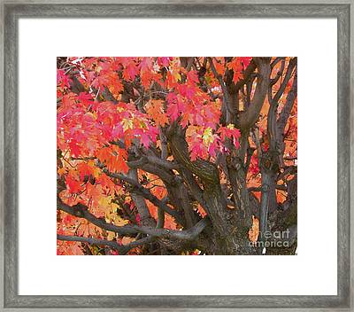 Fire Maple Framed Print by Laura Yamada