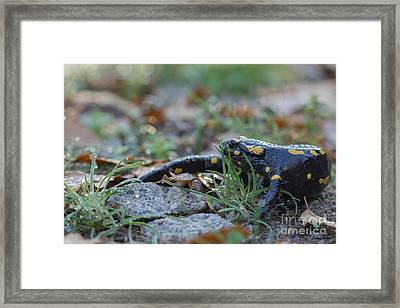 Fire Salamander Autumn Morning Framed Print