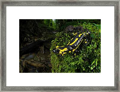 Fire Salamander (salamandra Salamandra Framed Print by Andres Morya Hinojosa