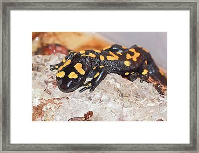 Fire Salamander (salamandra Salamandra) Framed Print