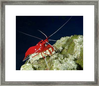 Fire Shrimp Or Scarlet Cleaner Shrimp Framed Print by Nigel Downer