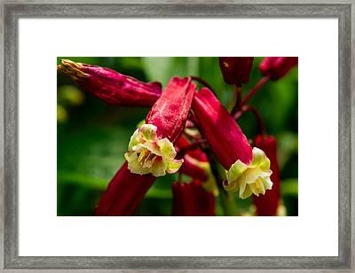 Firecracker Flower Cluster 1 Framed Print